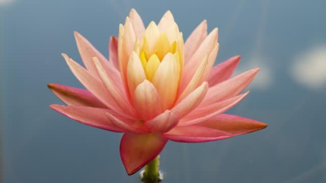 ピンクと黄色の蓮のユリの花の時間経過空の反射 - flower head点の映像素材/bロール