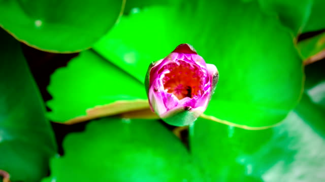 time lapse of purple water lily blooming in morning - lily stock videos & royalty-free footage