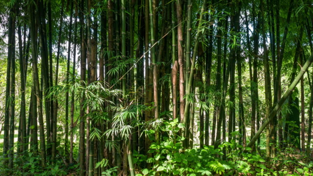time lapse of sunlight hit bamboo tree - bamboo plant video stock e b–roll