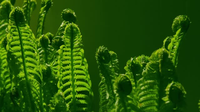 time lapse of the growing fern in a night - fern stock videos & royalty-free footage