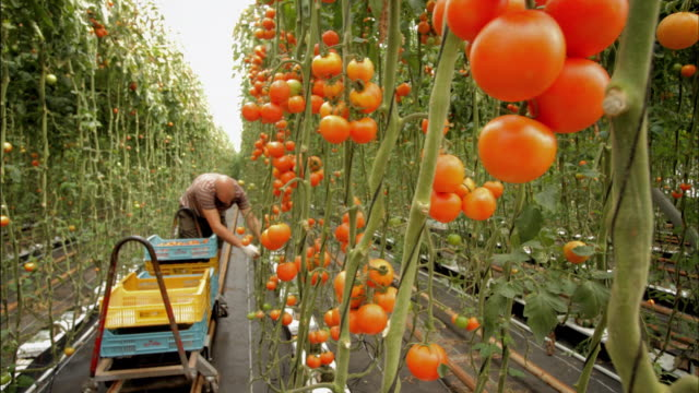 vídeos de stock e filmes b-roll de time lapse of tomatoes being harvested in a large greenhouse - maduro