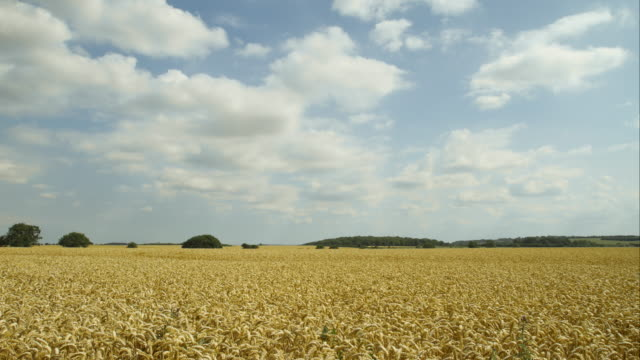 ws time lapse of wheat field - fast kamera bildbanksvideor och videomaterial från bakom kulisserna