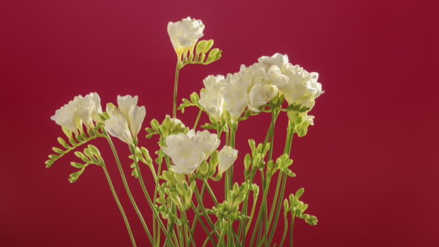 stockvideo's en b-roll-footage met a time lapse of white freesia flowers opening as they slowly rotate. - david ewing