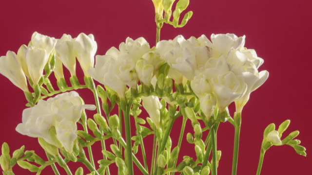 A time lapse of White Freesia flowers opening as they slowly rotate.