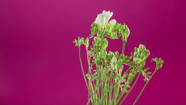 A time lapse of White freesia in a vase rotating as they blossom.