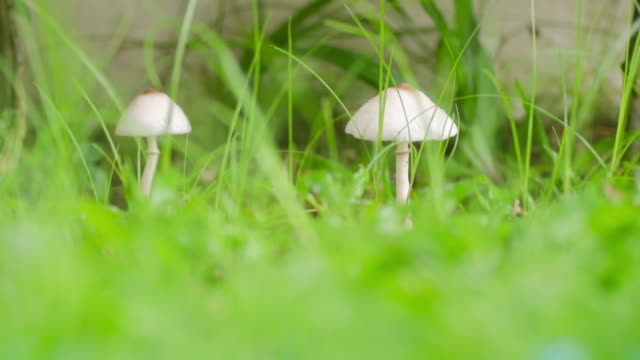 time lapse of white mushroom , environment concept - mushroom stock videos & royalty-free footage