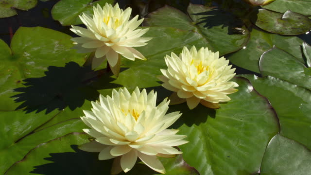 time lapse of white water lilies flowers opening, waterlilies blooming in pond - lily stock videos & royalty-free footage