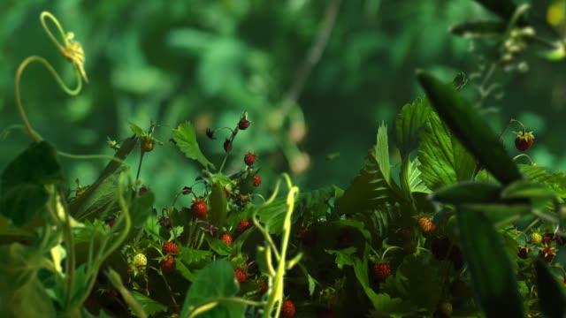 vídeos y material grabado en eventos de stock de lapso de fresa salvaje en bosque - frutas del bosque