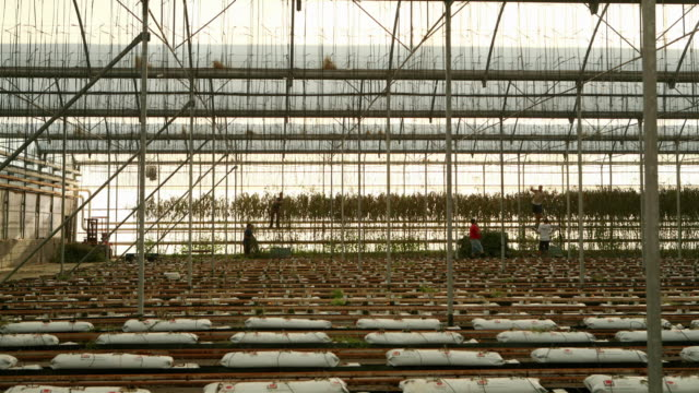 time lapse of wilted tomato plants being cleared from a large greenhouse - in a row stock videos & royalty-free footage