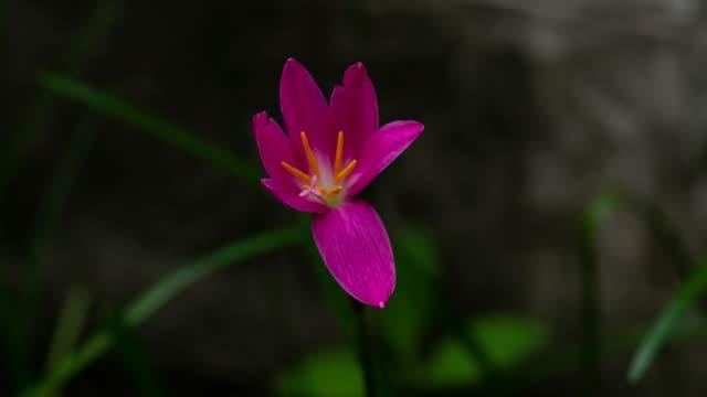 ゼフィランサス咲くユリの花の時間の経過 - 極端なクローズアップ点の映像素材/bロール