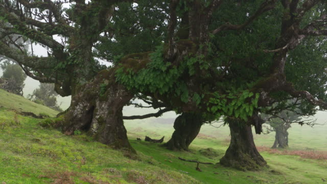 Time Lapse. Old laurel trees in Fanal forest. Atlantic Islands, Madeira, Portugal.