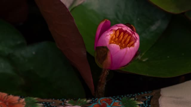 time lapse opening of a pink lotus flower, from bud to full open - film moving image stock videos & royalty-free footage