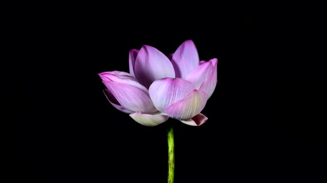 time lapse opening of water lily flower isolated on black - single object stock videos & royalty-free footage