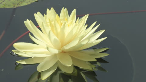 time lapse opening of water lily flower, lotus blooming in pond - lily stock videos & royalty-free footage