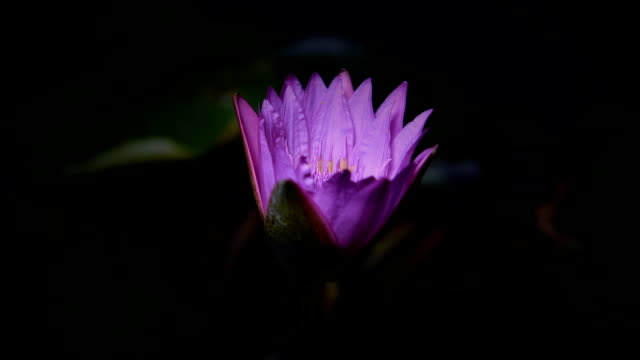 time lapse opening of water lily flower - lily stock videos & royalty-free footage