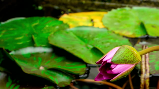 Time lapse opening of water lily flower.Lotus flower