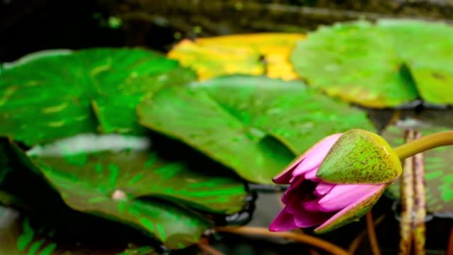 vídeos y material grabado en eventos de stock de apertura de lapso de tiempo de flor de lirio de agua flower.lotus - loto
