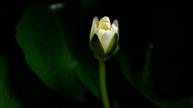 time lapse opening of  water lily flowers - lily stock videos & royalty-free footage