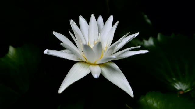 vídeos de stock e filmes b-roll de time lapse opening of white water lily flowers - lírio