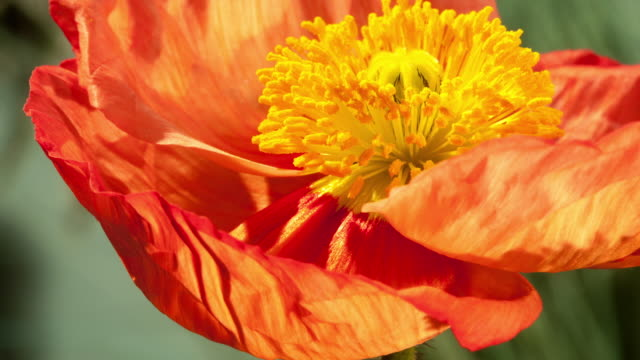 Time Lapse - Orange Poppy Blooms