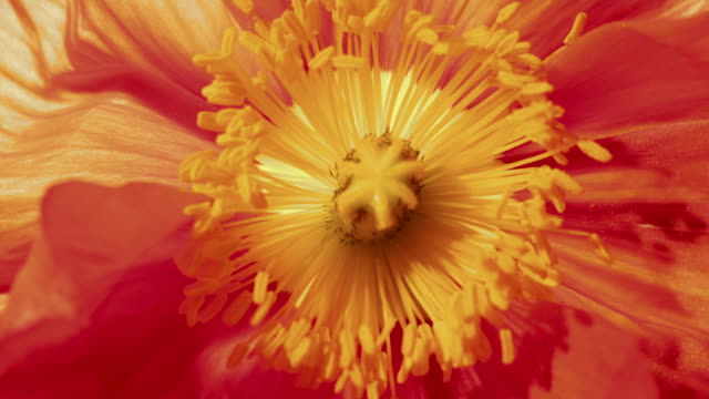 time lapse - orange poppy's stamen - stamen stock videos and b-roll footage