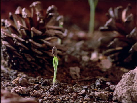 time lapse plants growing up thru dirt / pine cones on ground - tallkotte bildbanksvideor och videomaterial från bakom kulisserna
