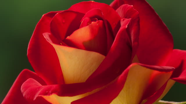 time lapse - red rose blooms - dew stock videos and b-roll footage