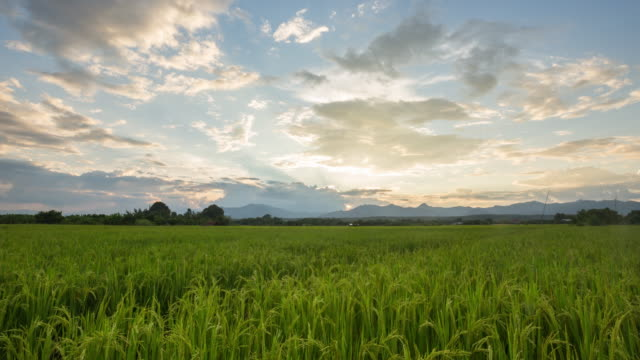 4k time lapse: rice field and beautiful sunset. - paddy field stock videos and b-roll footage
