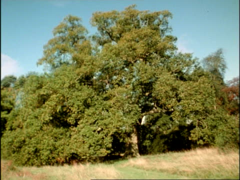 MS Time lapse sequence of Common English/Pedunculate Oak Tree (Quercus robur) over a year, UK; SEQUENCE OF CLIPS, SPECIAL TERMS APPLY