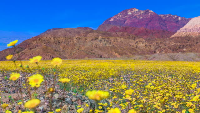Time lapse sequence showing a field of beautiful wild flowers blooming in Death Valley, California.