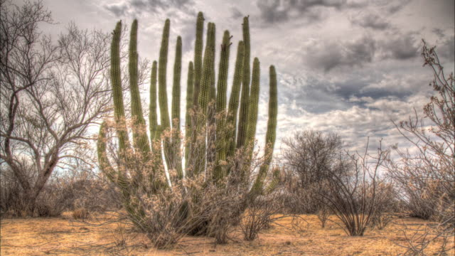 vídeos de stock e filmes b-roll de time lapse shot of a cactus plant in the mexican desert. - cato