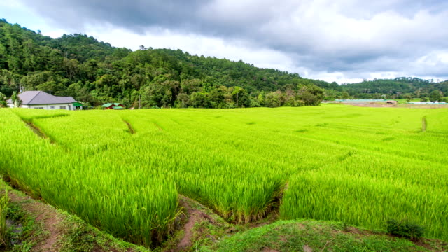 Time Lapse Shot of Beautiful Rice Field with Sunlight and Moving Cloud in th Sky,