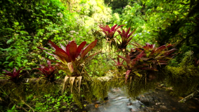 Time lapse shot of bromeliads growing on a branch in the El Triunfo biosphere reserve.