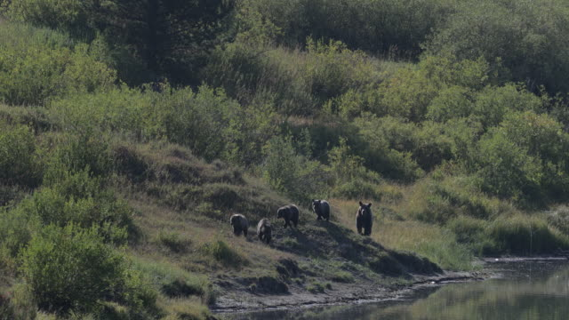 ws  4k  time lapse shot of famous grizzly bear #399 and her 4 coy/cubs (ursus arctos) as they walk along the shore of oxbow bend/snake river - グランドティトン国立公園点の映像素材/bロール