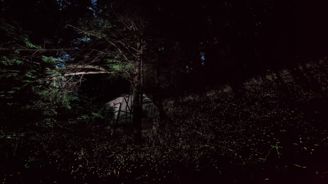time lapse shot of fireflies appearing at night in the great smoky mountains national park. - glowworm stock videos & royalty-free footage