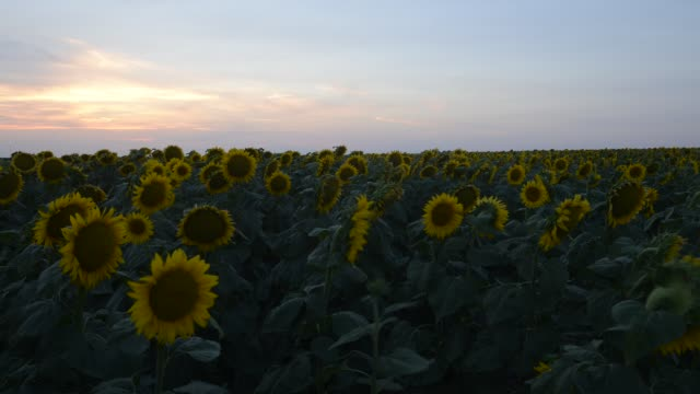 time lapse shot of sunflowers blooming at badlands national park against sky during sunset - badlands national park stock videos & royalty-free footage