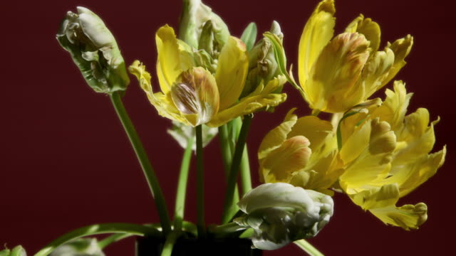 time lapse shot of tulip flowers wilting. - decay stock videos & royalty-free footage