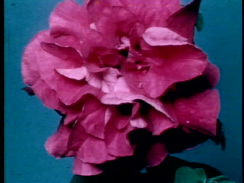 time lapse showing a pink carnation flower time growing into full bloom - carnation flower stock videos & royalty-free footage