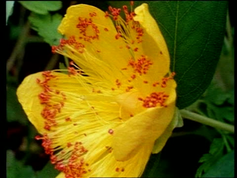 time lapse - cu st john's wort flower opening - staubblatt stock-videos und b-roll-filmmaterial