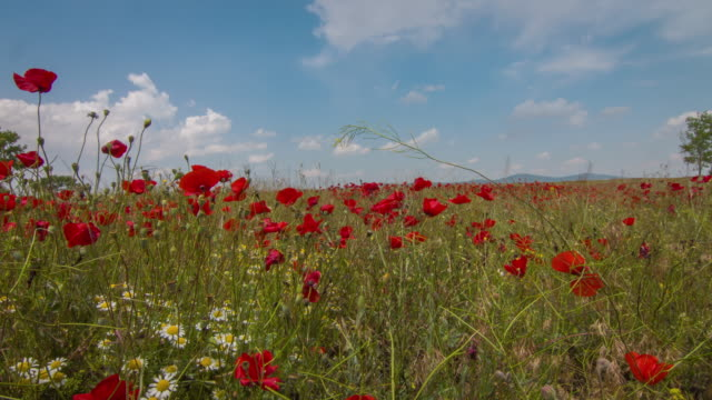 time lapse sunny day in poppy field - wildflower stock videos & royalty-free footage