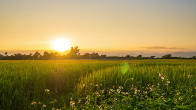 time lapse : sunset on rice field - paddy field stock videos & royalty-free footage