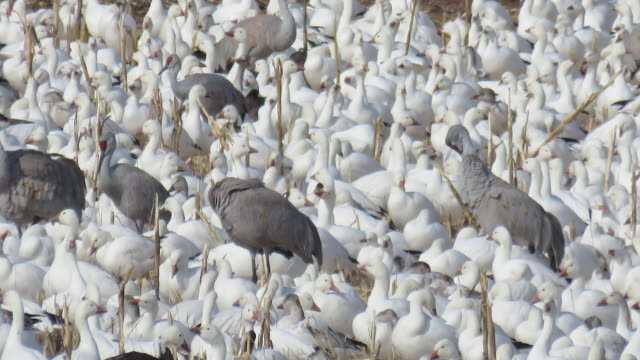 time lapse thousands of snow geese grazing they take off together - bosque del apache national wildlife reserve stock videos & royalty-free footage