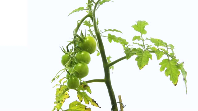 time lapse tomato plant on white - ripe stock videos & royalty-free footage