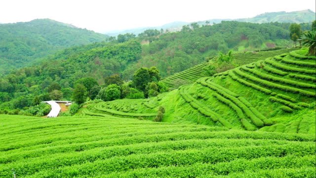 time lapse vdo of green tea farm landscape in chiang rai province, thailand - chiang rai province stock videos and b-roll footage