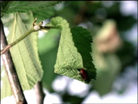 vídeos y material grabado en eventos de stock de ms time lapse view of leaf rolling weevil, apoderus coryli, nest building, rolled up leaf nest, united kingdom - escarabajo de cuerno largo
