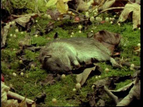 vídeos y material grabado en eventos de stock de ms time lapse view of rat decomposing, united kingdom - dead animal