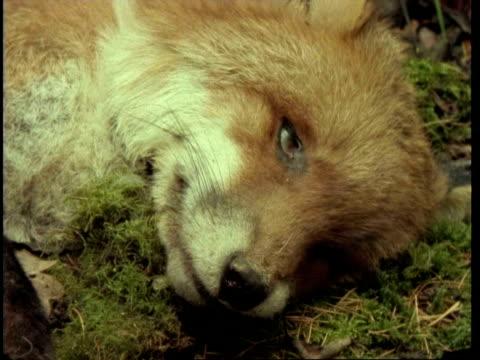 vídeos y material grabado en eventos de stock de ms time lapse view of red fox, vulpes vulpes, decomposing, united kingdom - dead animal