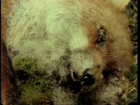MS time lapse view of Red Fox, Vulpes vulpes, decomposing, United Kingdom