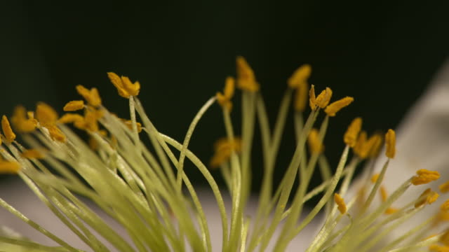 time lapse - white poppy stamen - stamen stock videos & royalty-free footage
