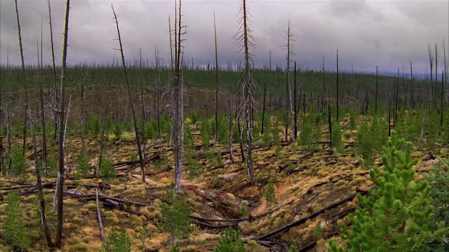 time lapse wide shot stand of dead trees and young pines with clouds passing in background on overcast day / yellowstone park - reforestation stock videos and b-roll footage